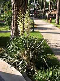 Цветущая пальма, Турция, октябрь 2004г